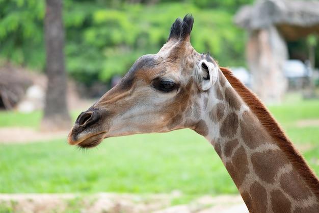 Close-up van een giraf voor sommige groene bomen