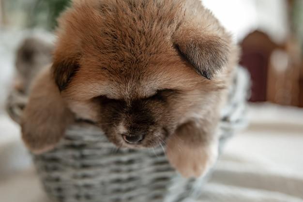 Close-up van een grappige pluizige puppy die in een mand rust.