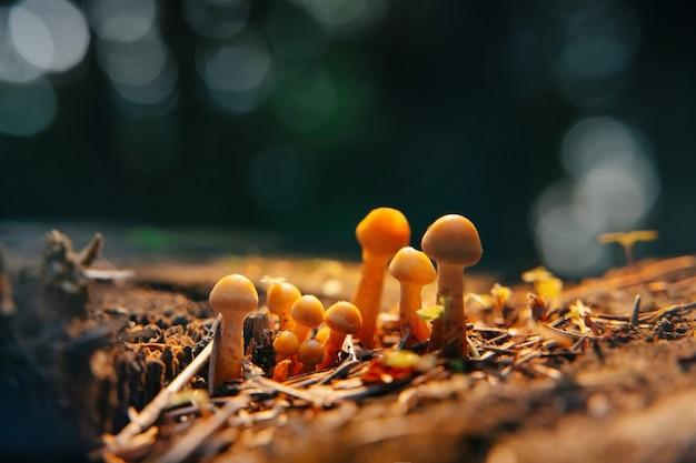 Close-up van een groep paddenstoelen die groeien op droge hennep en donkere bosachtergrond in zonlicht