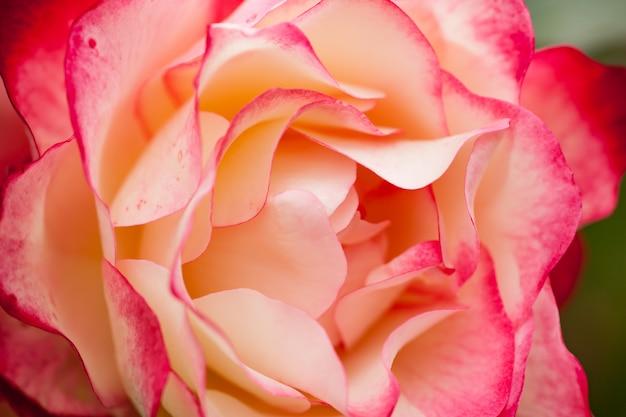 Close-up van een grote rode en witte roos met zijn zoete bloemblaadjes