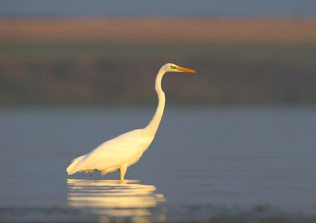 Close-up van een grote witte reiger staat in het water in zacht ochtendlicht