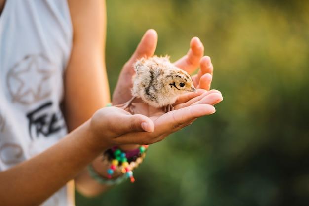 Close-up van een hand die gemeenschappelijke fazantkuikens houden