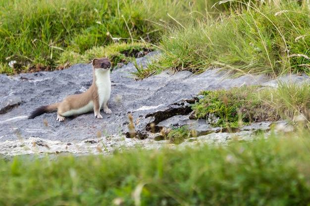 Close-up van een hermelijn in de aragonese pyreneeën