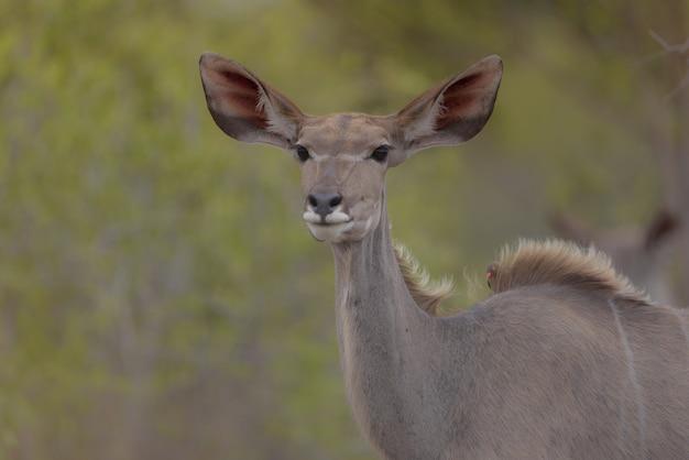 Close-up van een hert met vogels op zijn rug