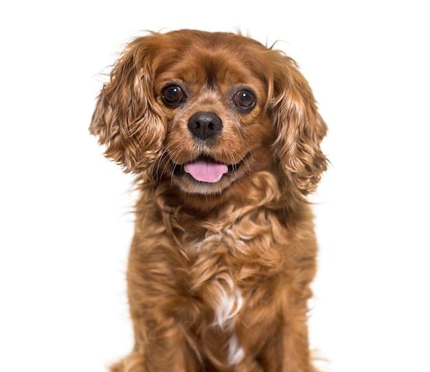 Close-up van een hijgende cavalier king charles-hond