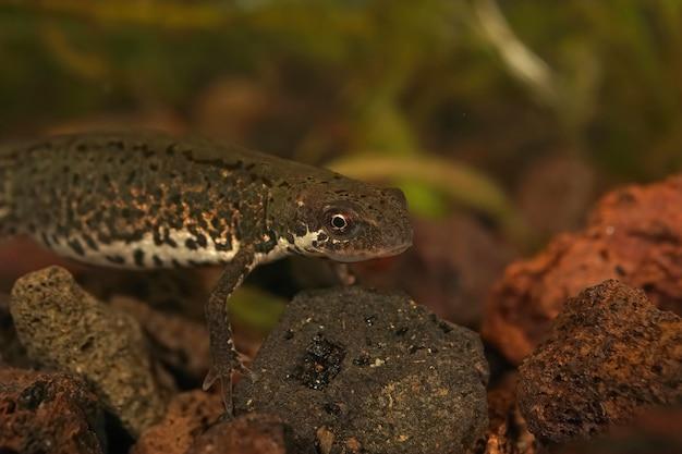 Close-up van een in het water levende italiaanse watersalamander onder een rotsachtig water
