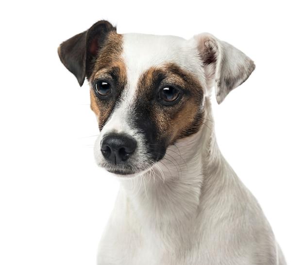 Close-up van een jack russell terrier, geïsoleerd op wit