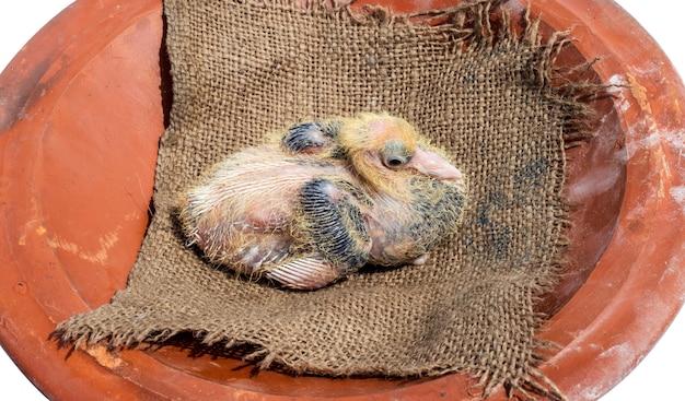 Close-up van een jong duivenkuiken op een schaal van rode klei