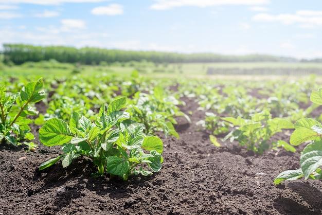 Close-up van een jonge aardappelspruit in de tuin. aardappelplantage, landbouw, herfstoogst