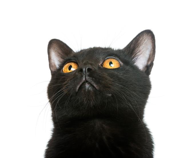 Close-up van een katje van bombay kijken die omhoog geïsoleerd op wit