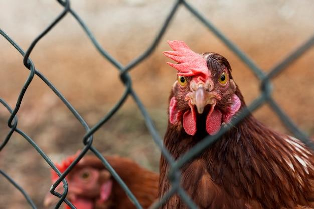 Close-up van een kip die camera bekijkt