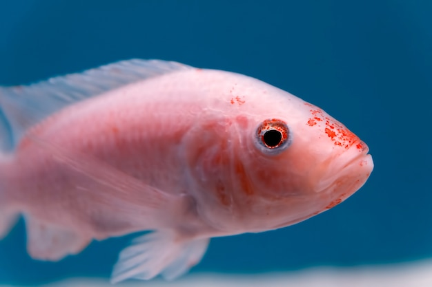 Close-up van een kleine roze en oranje vis camera in het aquarium kijken