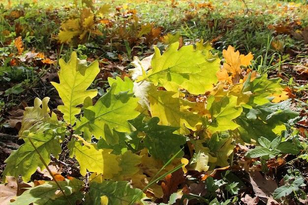 Close-up van een kleine tak van oude eik met bruine bladeren in het gras