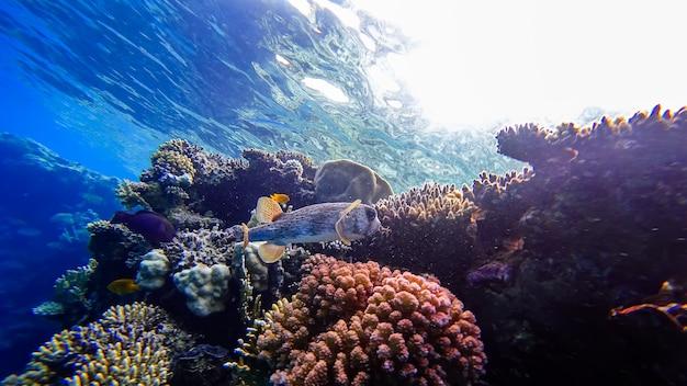 Close-up van een kogelvis op de achtergrond van koralen die zich in de rode zee bevindt