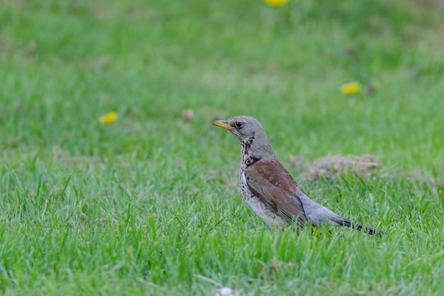 Close-up van een kramsvogel die op zoek is naar voedsel op een met gras begroeid gazon,