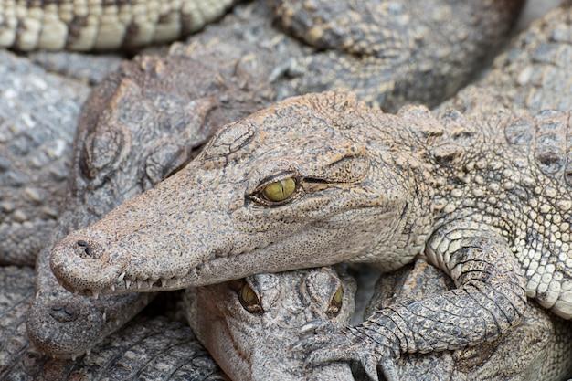 Close-up van een krokodil hoofd