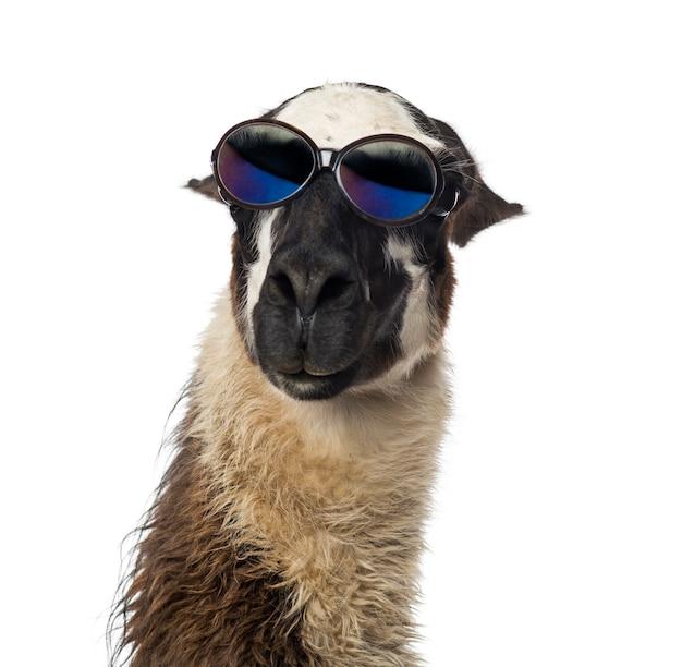 Close-up van een lama die zonnebril draagt