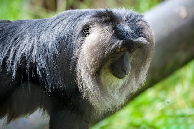 Close up van een leeuw-tailed makaak (macaca silenus)