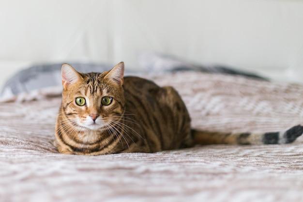 Close-up van een leuke kat van bengalen die op een bed ligt