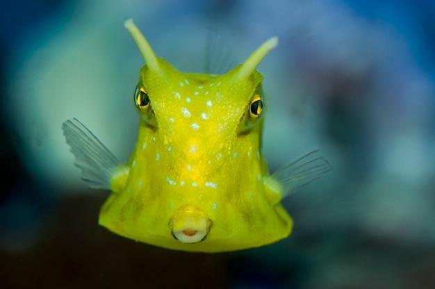 Close up van een longhorn cowfish zwemmen in een aquarium