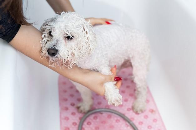 Close-up van een meisje dat haar hond in de badkamers baadt. zorg voor een hond bichon frise, close-up.