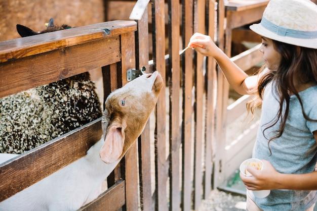 Close-up van een meisjes voedend voedsel aan geit die van omheining gluren