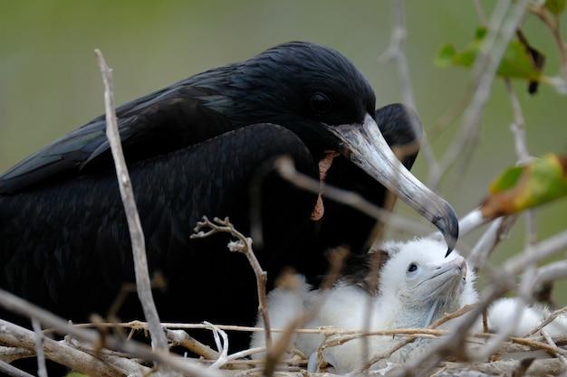 Close-up van een merel op het nest dichtbij de babyvogels met vaag