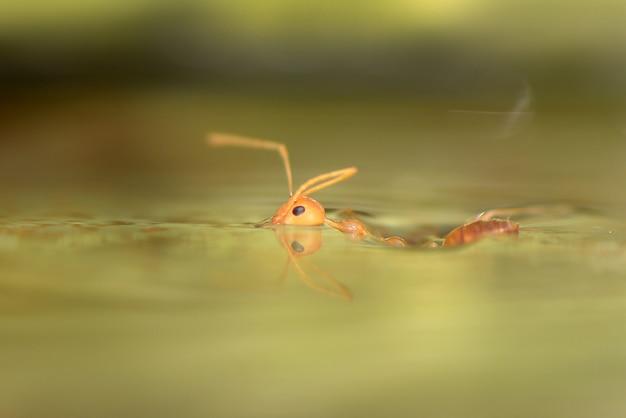 Close up van een mier zwemmen