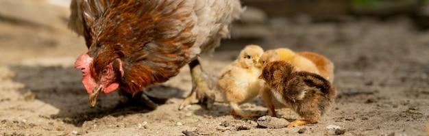 Close-up van een moederkip met zijn babykuikens