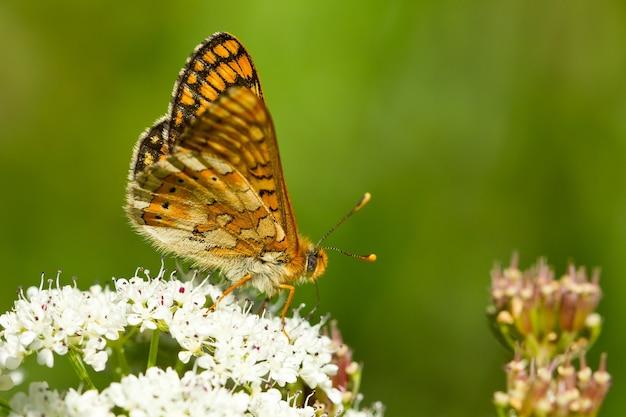 Close-up van een moerasparelmoervlinder op de plant