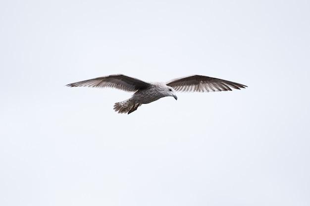Close-up van een mooie juveniele grote mantelmeeuw die tegen een witte lucht vliegt