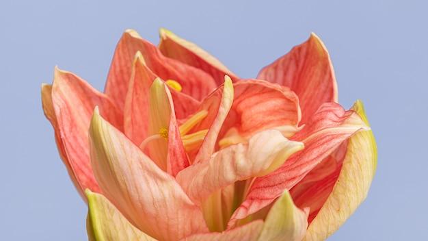 Close-up van een mooie peachy bloem