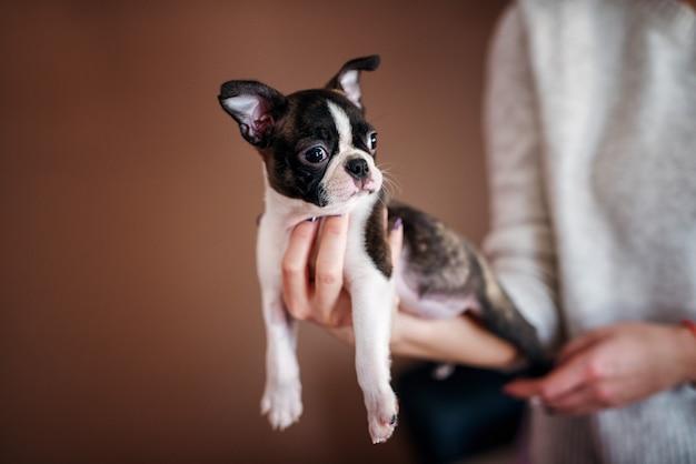 Close up van een mooie pup liggend aan de kant van de vrouw. boston terrier.