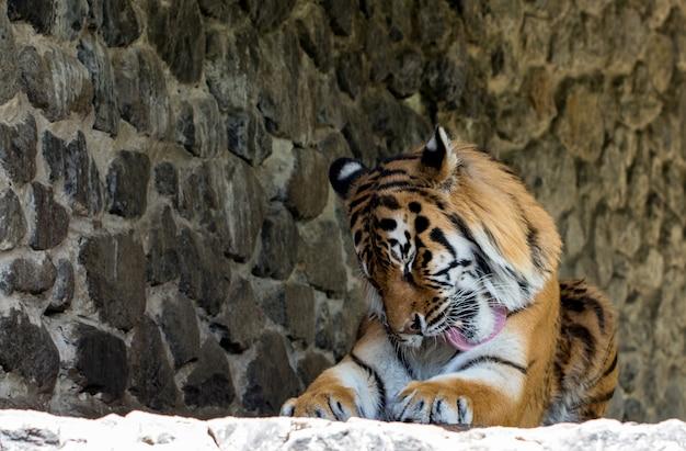 Close-up van een mooie tijger, op de achtergrond.