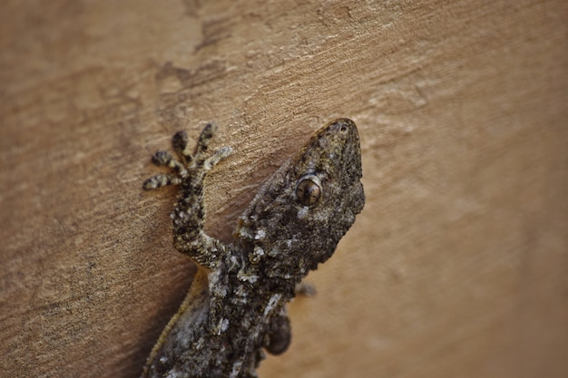 Close-up van een moorse gekko die op de muren onder de lichten in malta kruipt