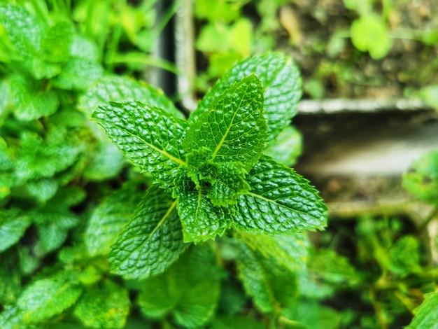 Close-up van een muntblad op groene achtergrond.