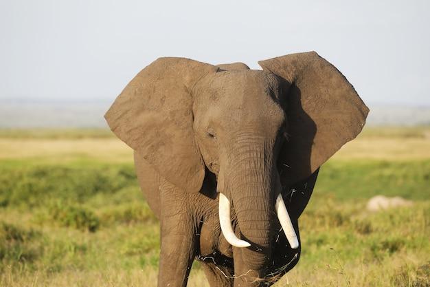 Close-up van een olifant die op de savanne van amboseli nationaal park, kenia, afrika loopt