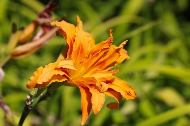 Close-up van een oranje gekleurde lila hybride bloem lat hemerocallis aten