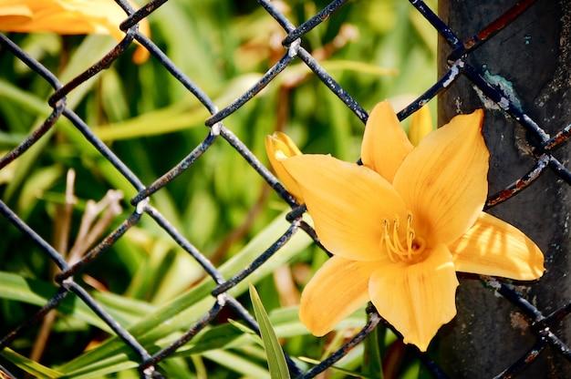 Close-up van een oranje lelie omgeven door groen onder zonlicht in een tuin achter bekabelde hekken
