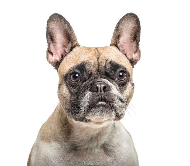 Close-up van een oude franse bulldog, geïsoleerd op wit