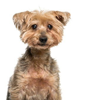 Close-up van een oude yorkshire terrier met cataract