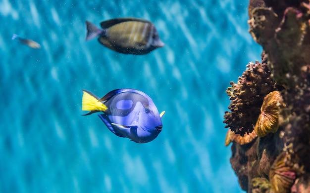 Close-up van een paracanthurus hepatus, een soort doktersvissen zoals gezien in aquariumomgeving