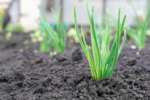 Close-up van een plant die uit de grond met levendige groene bokeh achtergrond ontspruit