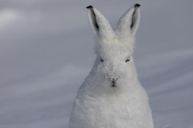 Close-up van een poolhaas met gesloten ogen terwijl hij in de sneeuw zit