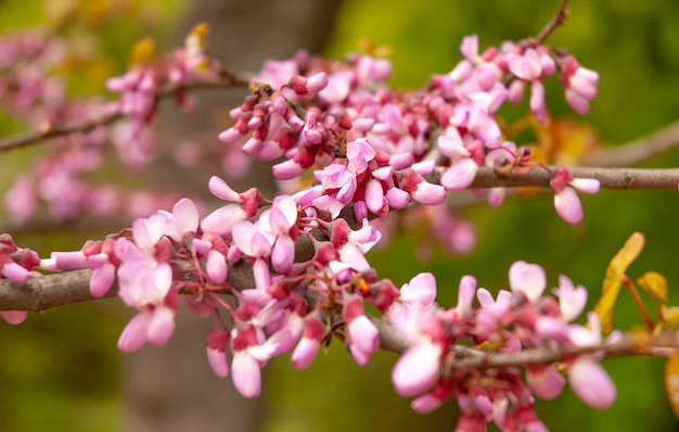 Close-up van een prachtig bloeiende roze sakura
