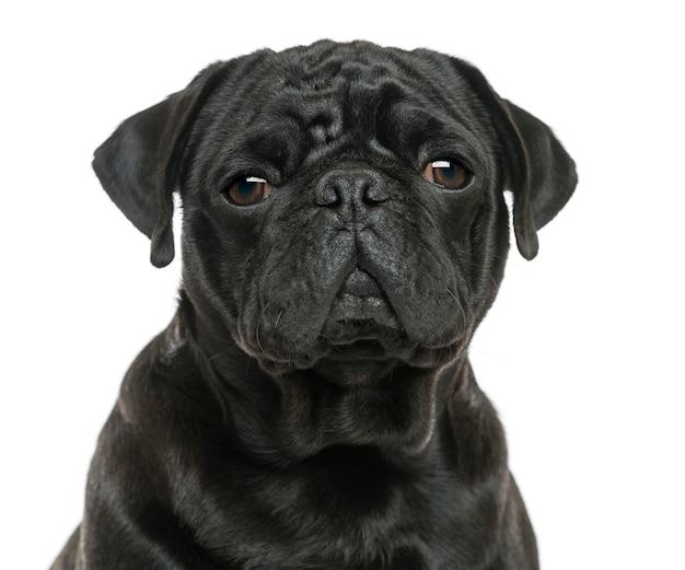 Close-up van een pug geïsoleerd op wit