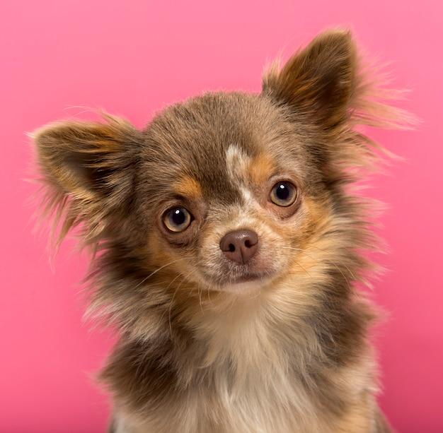 Close-up van een puppy chihuahua geïsoleerd op roze