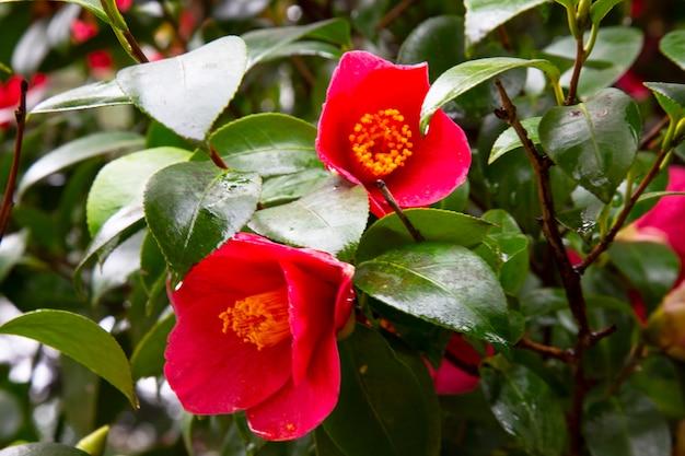 Close-up van een rode camellia vrijheidsbel japanse camellia met groene bladeren... weergave van een rode camellia bloem.