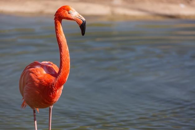 Close-up van een rode flamingo
