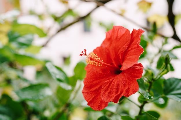 Close-up van een rode hibiscus met stuifmeel onder de bladeren.